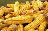 Tradicija i uzgoj kukuruza u Imotskom polju