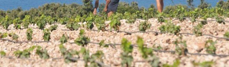 Sadnja, uzgoj i zaštita vinograda