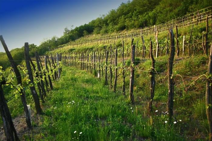 Vinova loza kroz povijest na našim područjima I dio