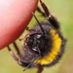 Kako izlječitu ubod pčele ili ose 150x150 Narodni ljekovi iz prirode za upalu krajnika