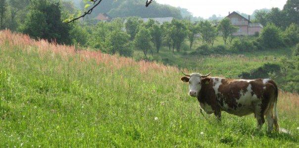 Pripovijetka o kravi i vilama