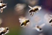 Uspješan projekt korištenja pčela pri traženju mina