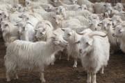 Kašmir i kašmirska dlaka, uzgoj kašmirskih koza