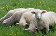 Prerada vune i osnovna podjela po kvaliteti vunenih vlakana