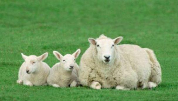 Uzgoj ovaca i upotreba vune kroz prošlost