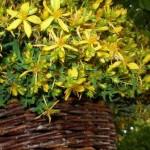 Gospina trava, tradicionalni ljek protiv suvremene depresije