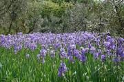 Ljekoviti pripravci od irisa ili perunike