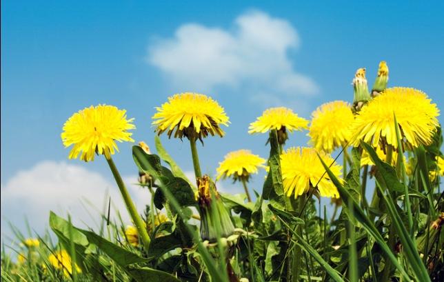 Maslačak, hranjivo i vrlo ljekovito bilje