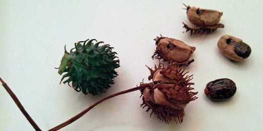 Ljekovita biljka ricinus