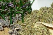 Ljekovita svojstva ružmarina, ljekoviti ružmarin kroz povijest