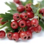 ljekovitost gloga prirodni ljek za srce 150x150 Pripremite sami ljekoviti narodni čaj