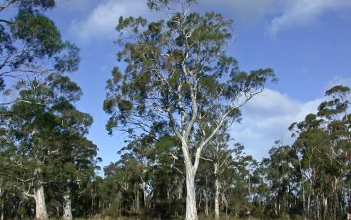 velika stabla ljekovitog eukaliptusa