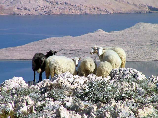 Dalmatinske ovce na ljekovitoj ispaši