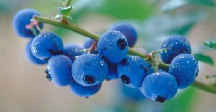 Borovnice i ljekovitost borovnica