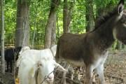 Poučna stara priča o kozi i magarcu