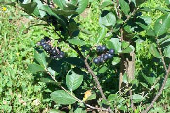 Zdrava svojstva borovnice