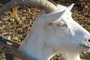 Stara poučna priča o kozi i rogu