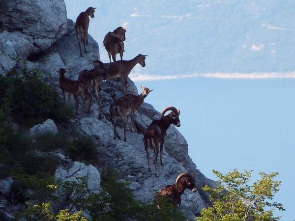Biokovo najljepši park prirode divlja koza