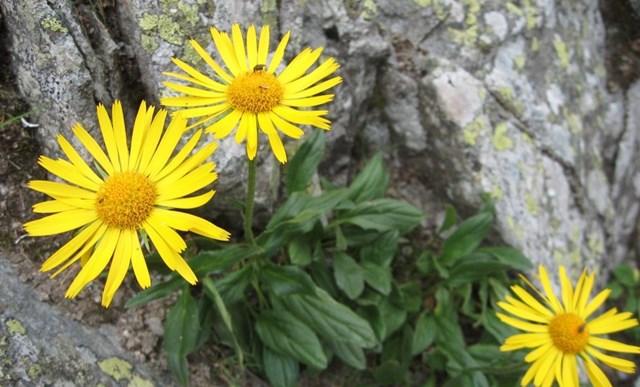 Goranska arnika žuti cvijet ljekovitih svojstava