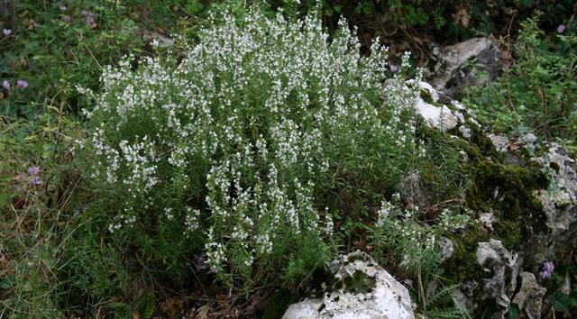 Krški vrisak iličubar planinski ljekoviti grm s kamena