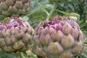 Artičoka ljekovito i cijenjeno povrće