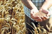 Kako posijati najljepšu božićnu pšenicu?