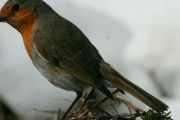 Narodna vjerovanja – ptica crvandać –